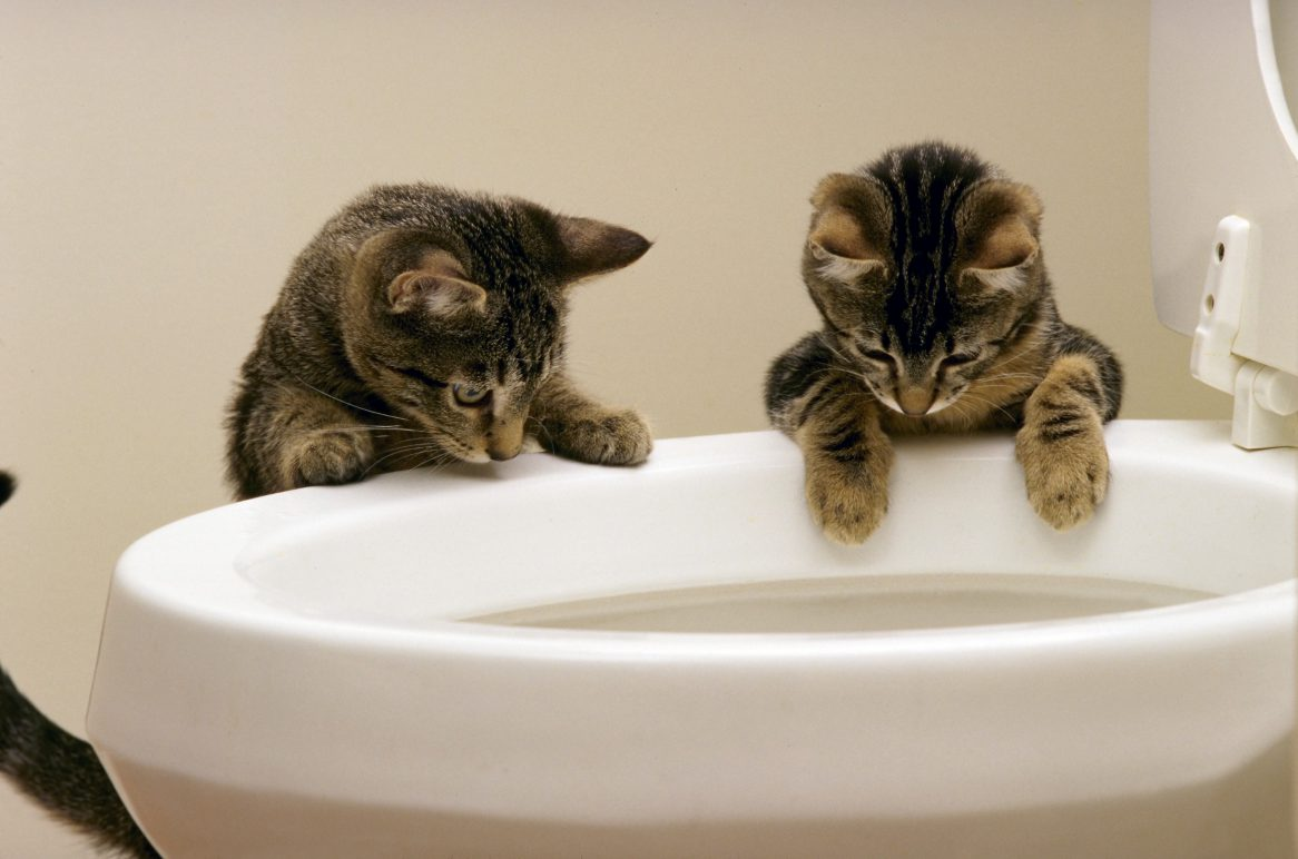 Curious Kittens Watching Water Flush In Toilet