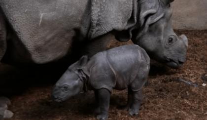 Diergaarde Blijdorp zoekt naam voor pasgeboren neushoorntje