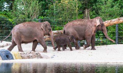 Video: Aziatische olifanten betreden nieuwe buitenverblijf in ARTIS