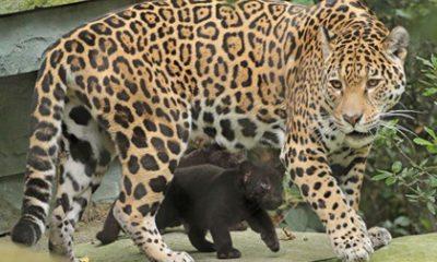 Te schattige foto's: de jaguarwelpen Artis voor het eerst naar buiten