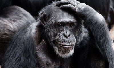 Kleine chimpansee geboren in DierenPark Amersfoort: kijk hoe lief!