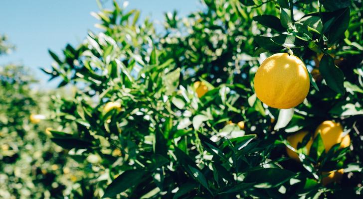 Handig: deze fruitbomen kun je in huis laten groeien
