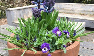 Maak je eigen voorjaarsbak met violen, blauwe druifjes en hyacinten