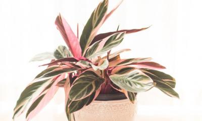 Planten met roze details zijn dé trend: deze wil je in huis hebben