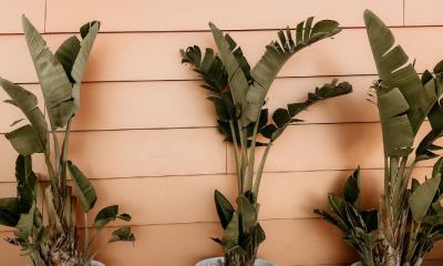 Bij deze winkel koop je een bananenplant voor maar € 2,99