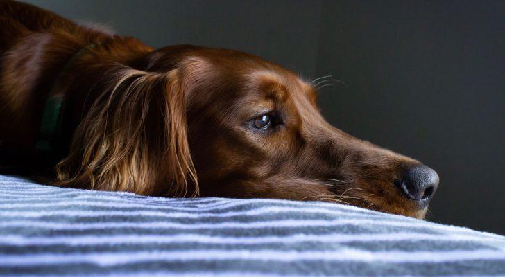 hond-alleen-thuis-eenzaam