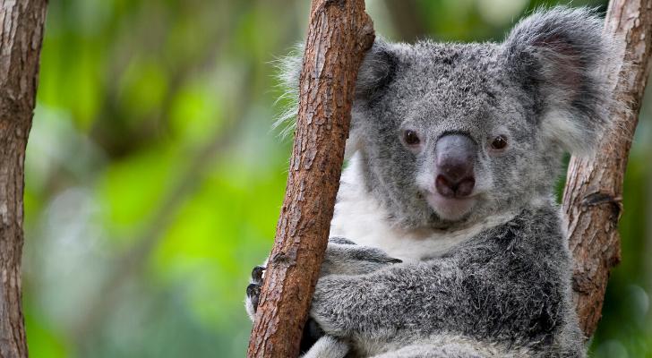 Dit geluid maken koala's (en het is niet wat je denkt)
